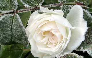 Как утеплять розы на зиму